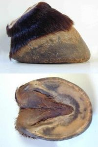 horse hoof supplement, Forward Foot Syndrome