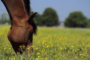 grazing my horse, Not all horses should graze