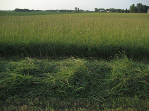 mature orchardgrass hay_ first cutting_1