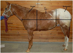 horse conformation, Conformation: form to function