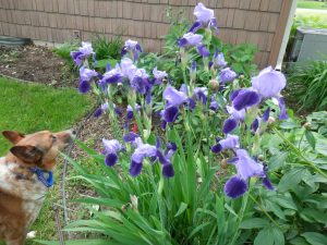 Chase with Irises