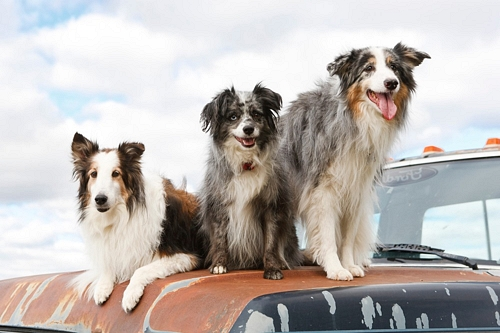Three dogs on truck hood
