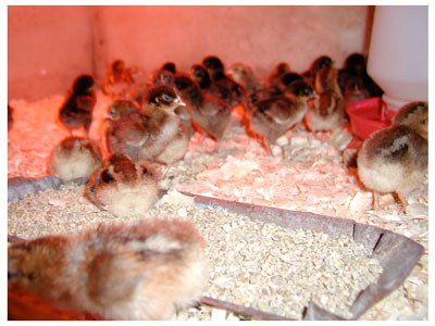 poultry vitamins electrolytes & probiotics, Getting Started Right