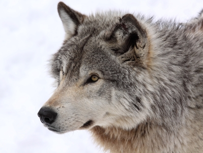 animal connection, A Wolf at Every Door